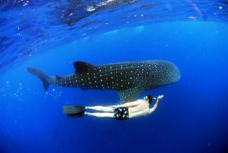 live-whale-sharks